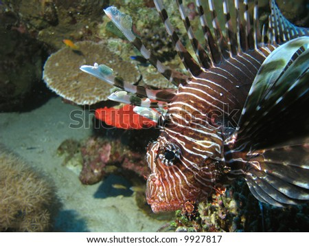 A profile of a lionfish