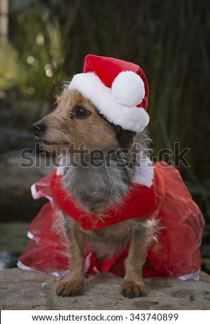 A profile of an adorable small Mixed Breed Dog in a red lace dress with a Santa hat. Dog is sitting. - stock photo