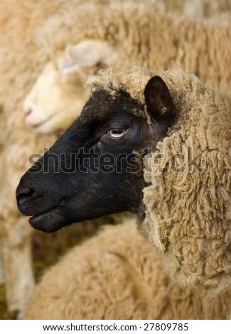 a profile portrait of a Cambridge dark faced breed of sheep, within a mixed herd. - stock photo