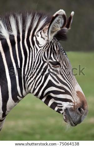 A profile portrait of a Grevy's Zebra - stock photo