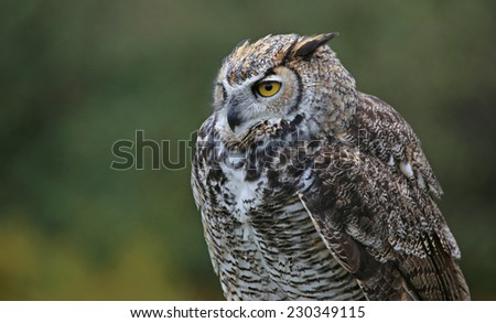 A profile shot of a Great Horned Owl (Bubo virginianus).  - stock photo