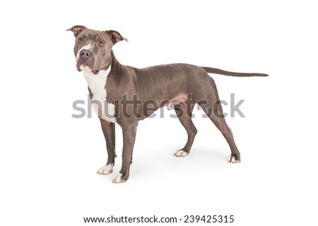 A profile view of a beautiful blue coated American Staffordshire Terrier dog standing  - stock photo