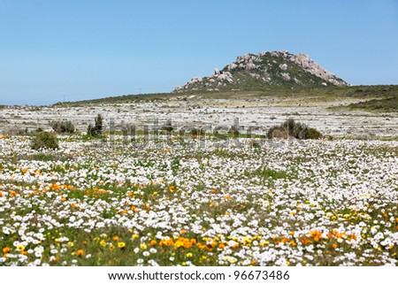 A profusion of wildflowers growing in the West Coast National Park, near Langebaan in the Western Cape, South Africa. - stock photo