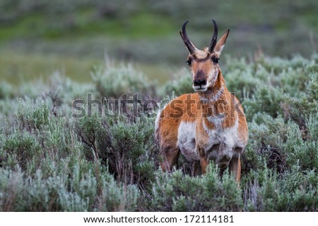 A pronghorn among sage bushes looking at the camera, Yellowstone National Park, Wyoming