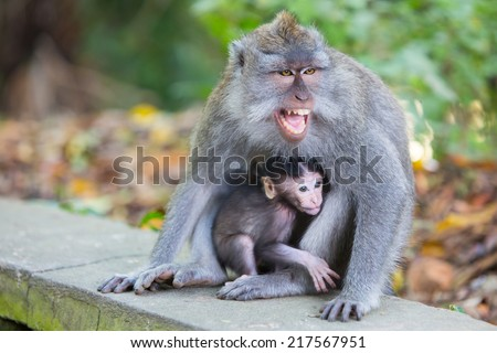 A protective mother protects her baby in Monkey Forest, Ubud, Bali, Indonesia. - stock photo