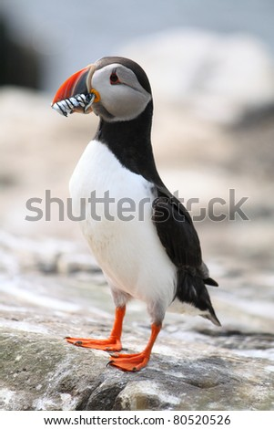 A Puffin (Fratercula arctica) with Sand Eels in it's beak - stock photo