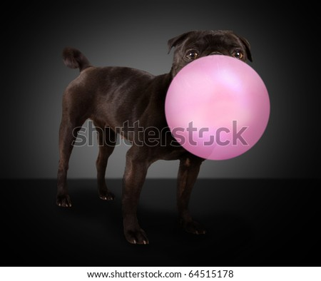 a pug dog blowing a pink bubble - stock photo