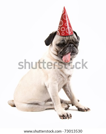 a pug dog isolated on a white background - stock photo