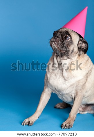A pug dog sitting in front of a blue background and wearing a pink party hat - stock photo