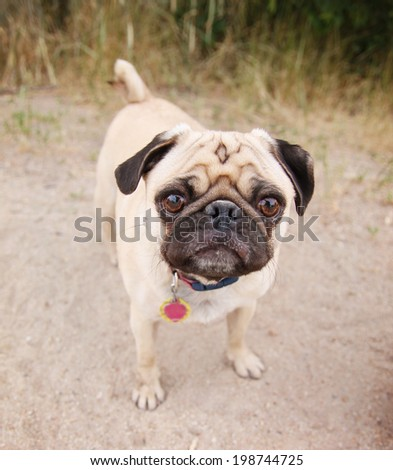 a pug on a walking path at a local nature park - stock photo
