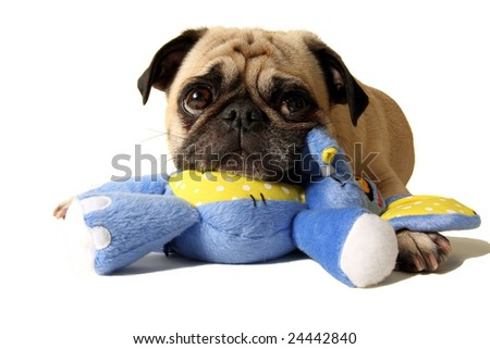 A pug waiting patiently to play - stock photo