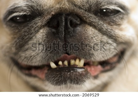 A pug with a cheeky smile. - stock photo