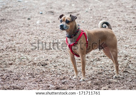 A puggle stands at attention in the park - stock photo