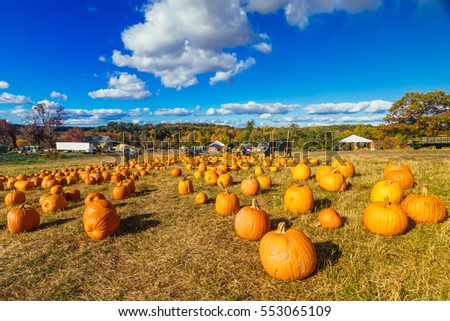 A pumpkin field showing many pumpkins on an apple farm in upstate New York on a beautiful autumn day in the late afternoon.