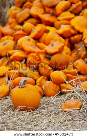 A pumpkin patch ready for harvesting. - stock photo