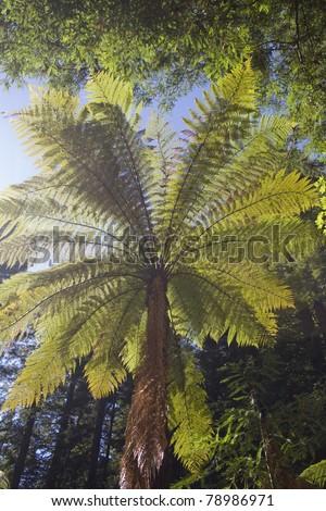 A Punga Fern Canopy - New Zealand - stock photo