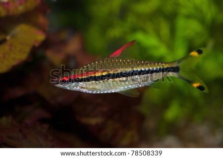a puntius denisonii male fish in an aquarium - stock photo