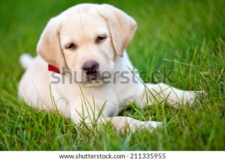 A puppy dog lying on the grass - stock photo