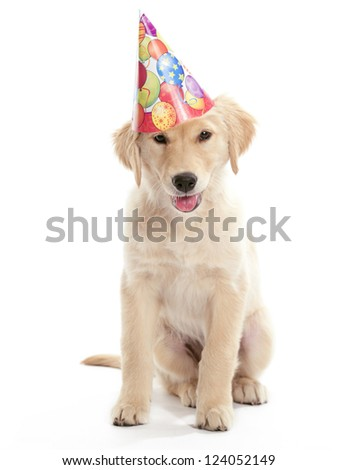 A puppy Golden Retriever sitting on a white background - stock photo