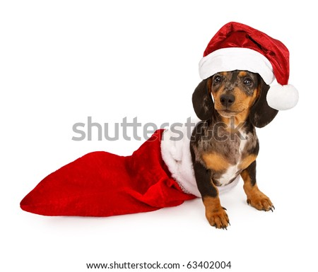 A puppy miniature Dachshund puppy in a Christmas stocking wearing a santa hat