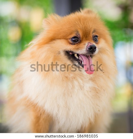 A puppy of a Pomeranian
