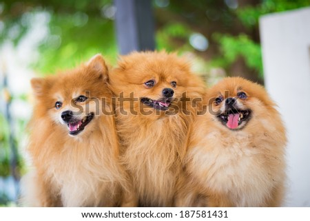 A puppy of a Pomeranian - stock photo