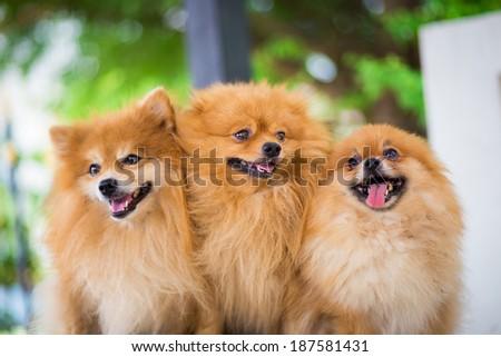 A puppy of a Pomeranian - stock photo