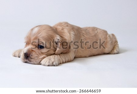 A puppy of American cocker spaniel. Two weeks old.