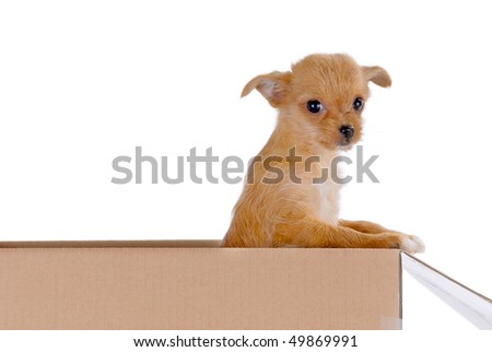 A puppy trying to climb out of a box. - stock photo
