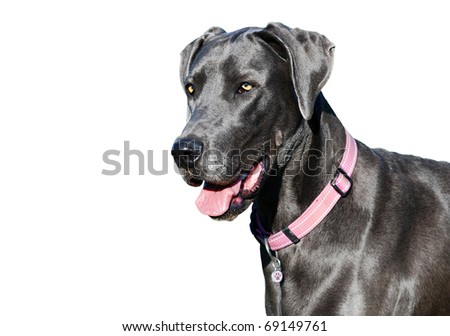 a Pure bred blue great dane against a white background - stock photo