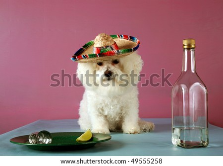 a Pure Breed Bichon Frise celebrates Cinco de Mayo with Tequila and a wedge of lime and salt - stock photo