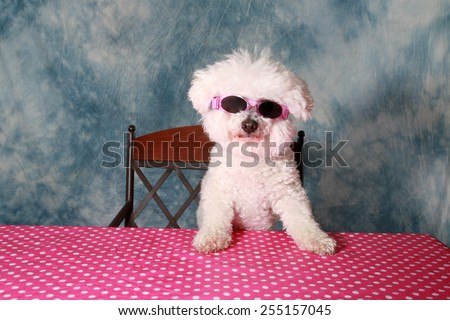 A pure breed Bichon Frise is One Cool Cat in her styling Sun Glasses  - stock photo