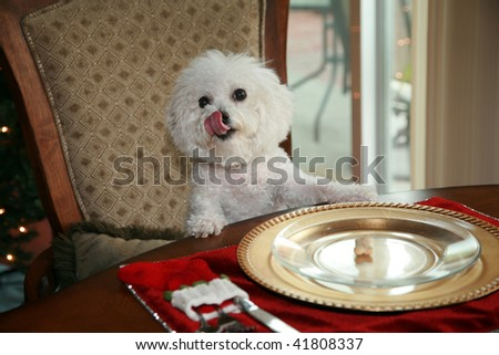 a pure breed bichon frise, sits at the dinning room table and demands her christmas dinner - stock photo