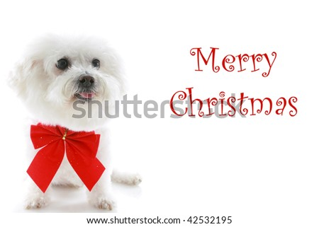 A Pure breed Bichon Frise wears a red bow with Merry Christmas text isolated on white, text is easily replaced with your text - stock photo