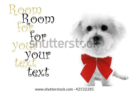 A Pure breed Bichon Frise wears a red bow with room for your text isolated on white , text is easily replaced with your text - stock photo