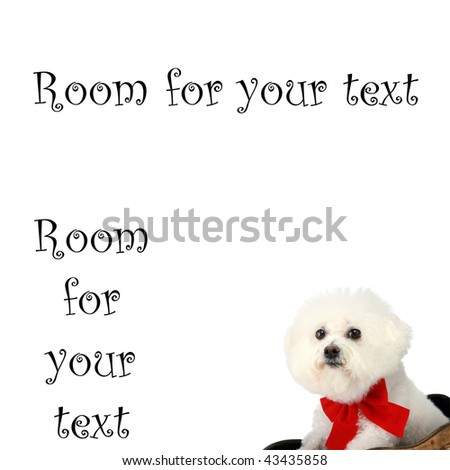 """a pure breed """"Bichon Frise"""" with a red bow, """"isolated on white"""" with """"room for your text"""" - stock photo"""