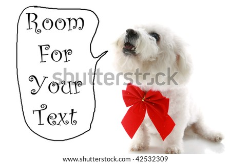 a Pure breed Bichon Frises wears a red bow  with room for your text isolated on white , text is easily replaced with your text - stock photo