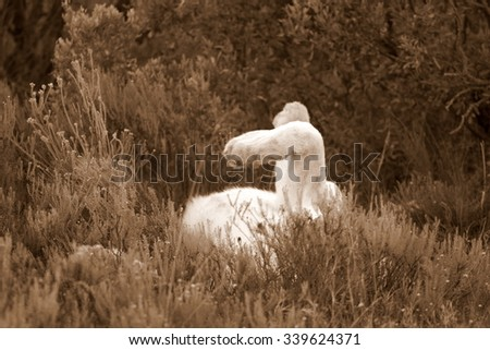 A pure white lion / lioness rest in the grass in this abstract image taken on safari in South Africa - stock photo