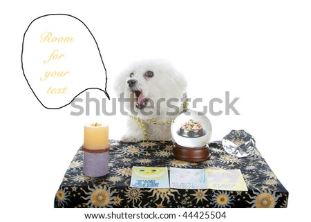 """a purebred Bichon Frise as a """"Pet Psychic"""" or """"Psychic Pet"""" or """"fortune teller"""" predicts dog cookies in your future isolated on white with room for your text - stock photo"""