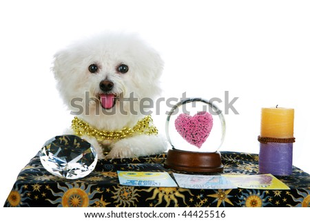 """a purebred Bichon Frise as a """"Pet Psychic"""" or """"Psychic Pet"""" or """"fortune teller"""" sees Love in your future isolated on white with room for your text - stock photo"""