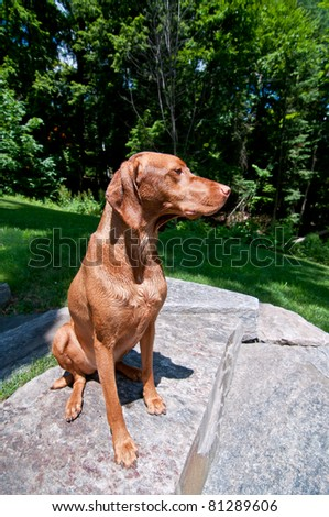 A purebred Hungarian Vizsa dog sit on a stone step in front of some green trees.