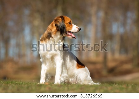 A purebred Kooikerhondje dog without leash outdoors in the nature on a sunny day.