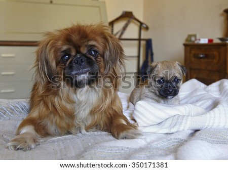 a purebred Pekingese dog with her puppy on a bed