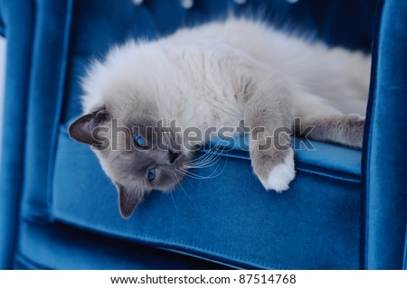 A purebred Ragdoll cat lays on his side on the cushion of a chair. The cats eyes are blue and the chair is a similar blue. The cat looks at the camera.