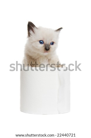 A purebred Siamese kitten playing with a roll of toilet paper - stock photo