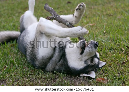 a purebred Siberian Husky chews on a stick he has fetched - stock photo