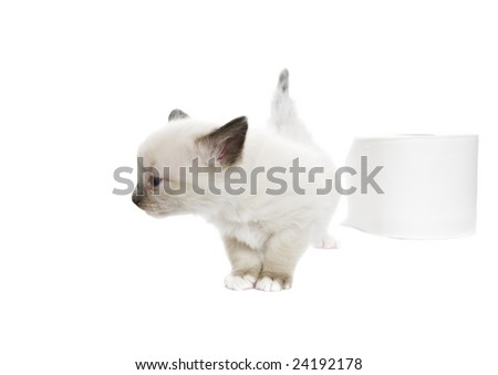 A purebred, Snowshoe Lynx-Point Siamese kitten turns her nose up at toilet paper that isn't soft enough.  Room for copy. - stock photo