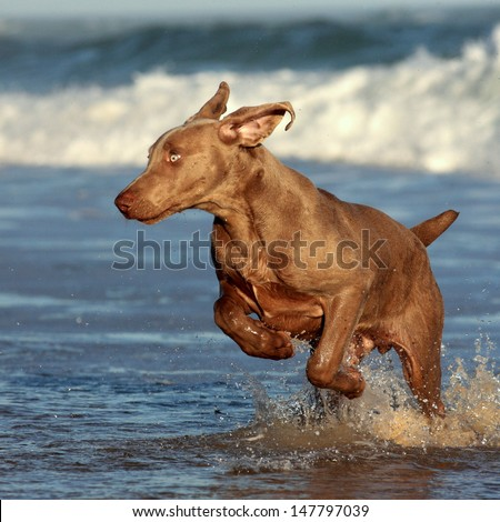 A purebred weimaraner playing,jumping and swimming at Sardinia Bay, Eastern Cape, South Africa. - stock photo
