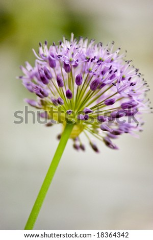A purple allium flower against a blurry background