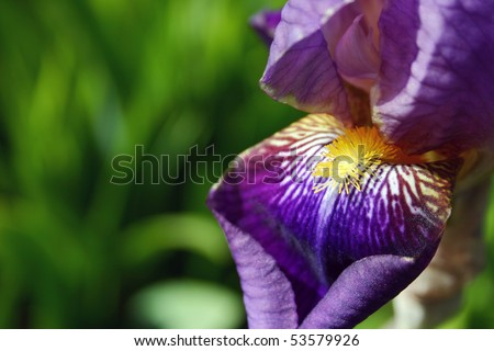 A purple iris flower with yellow stamen and green background.